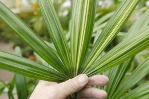 Rhapis excelsa variegate leaf (Large).JPG